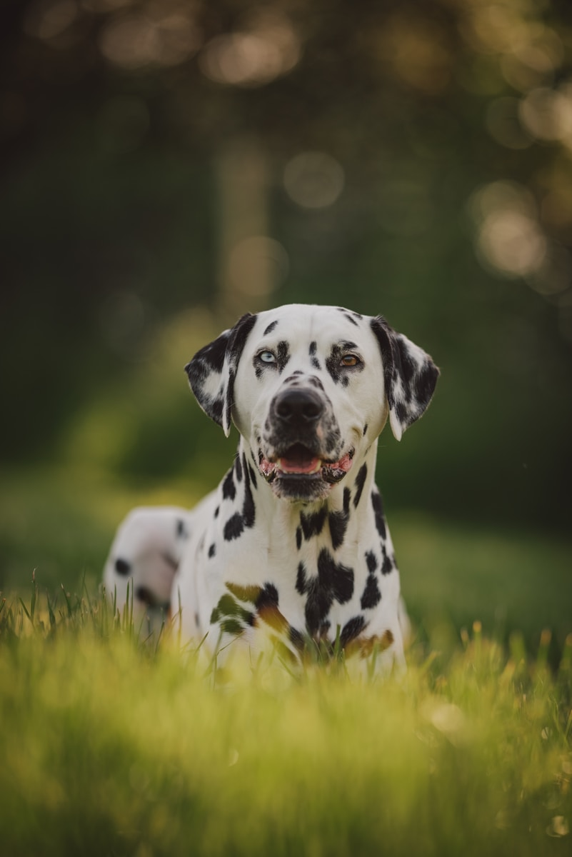 black and white dalmatian dog on green grass field during daytime